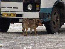 Бродячий пес. Фото из архива АС Байкал ТВ