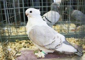 Организаторы -- Иркутский клуб любителей голубей, Иркутская зоогалерея, любитель птиц Сергей Дроботенко