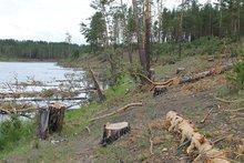 Спиленные деревья. Фото пресс-службы ОНФ