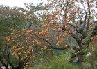 Японская хурма. Фото с сайта www.dic.academic.ru
