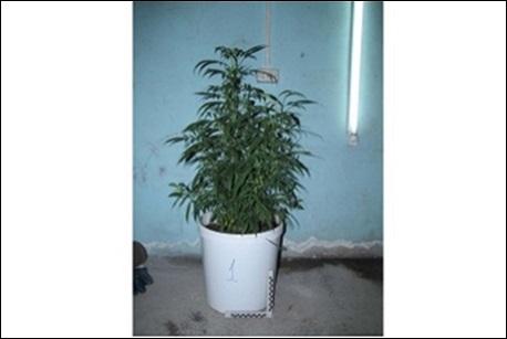 ВУсольском районе мужчина выращивал втеплице 126 кустов марихуаны