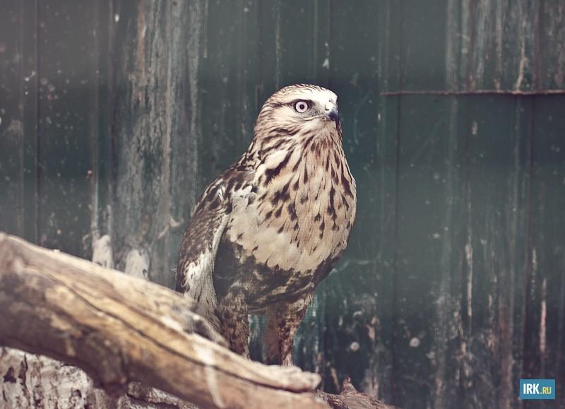 Канюк-зимняк встречается в России как гнездовой обитатель побережья Северного ледовитого океана. У этой птицы сломано крыло.