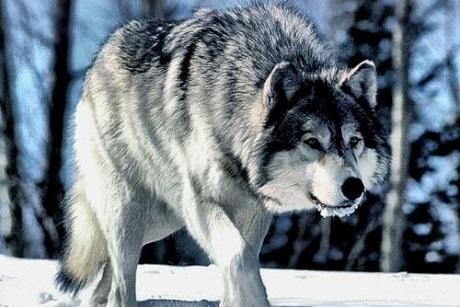 ВПриангарье практически втрое превышен неопасный порог популяции волков
