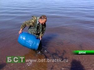 Мальков пеляди выпускают в водохранилище. Фото с сайта www.bst.bratsk.ru