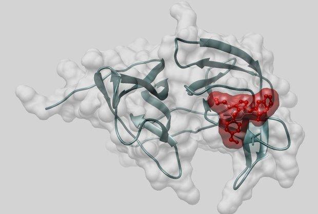 Молекула альфа-бисаболола, встроенная в карман протеазы вируса Зика. Изображение из личного архива Ульяны Потаповой