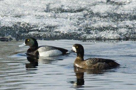 Иркутян приглашают пересчитать водоплавающих птиц