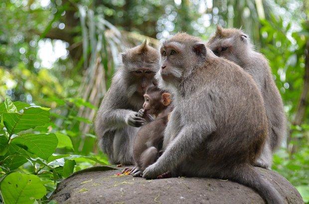Обезьяны в лесу живут семейными группами