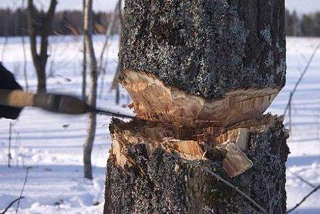 При строительстве дороги Тайшет-Чуна-Братск украли неменее 20 тыс. кубометров древесины