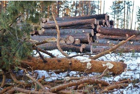 Срубленные деревья. Автор фото — Надежда Гусевская