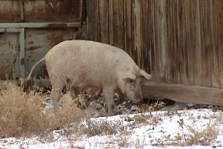 ВСибири зафиксировали первую вспышку африканской чумы свиней