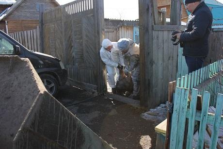 Жителям Иркутского района начали выплачить компенсации заизъятых свиней