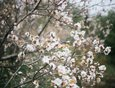 Средняя продолжительность цветения абрикоса — 10 дней.
