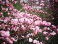 Этот кустарник в народе называют «сакурой», а правильное название — Миндаль трехлопастной, или Луизеания трехлопастная.