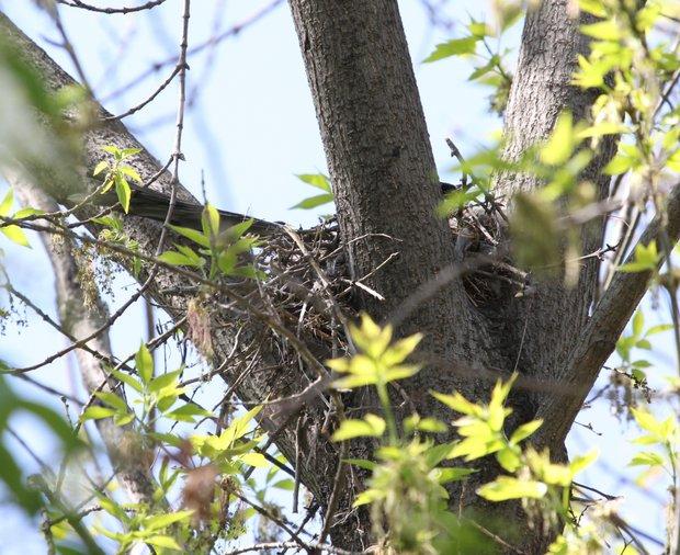 На уличных клёнах тоже можно найти гнездо голубой сороки