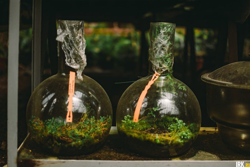 Коллекционные растения — селагинеллы