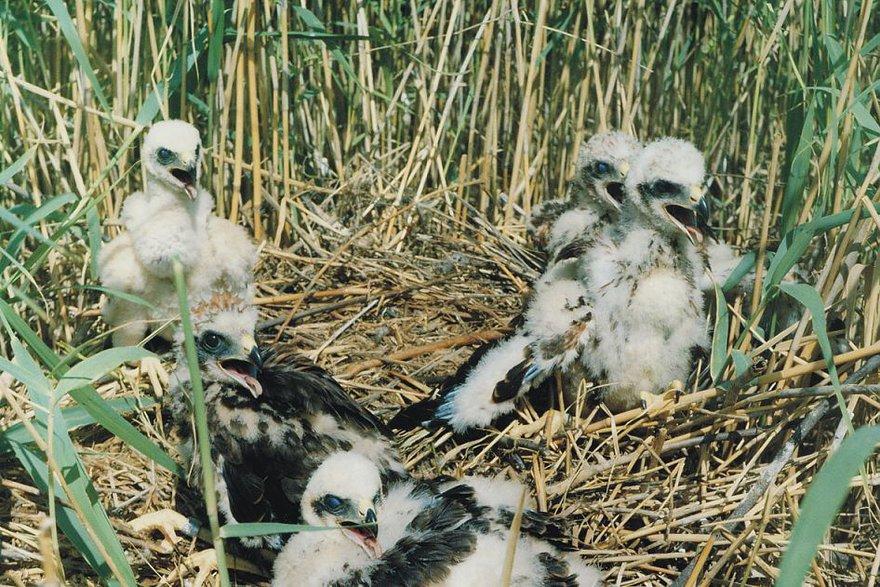 Птенцы болотного луня в гнезде.