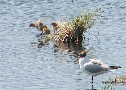Птенцы озерной чайки. Хорошо бегают и плавают. Оставляем в покое и уходим.