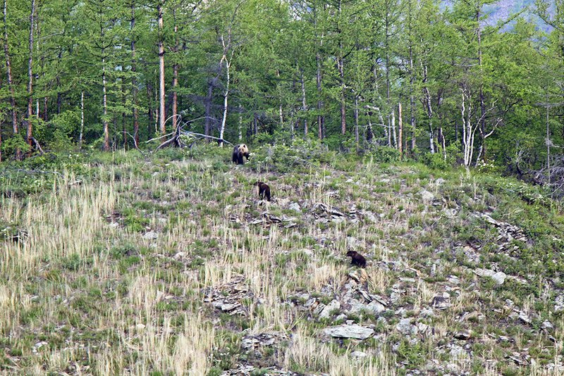 Шесть взрослых медведей и 5 медвежат увидели учёные вБайкало-Ленском заповеднике