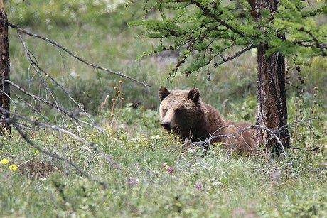 Ученые посчитали медведей вБайкало-Ленском заповеднике