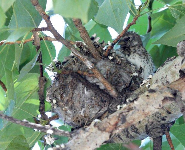 На взрослую птицу еще не очень похожи: пестрые снизу, нет красного и черного на голове.