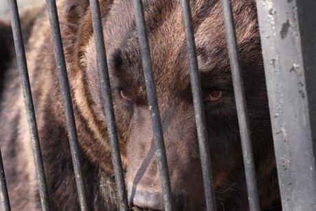 ВШелеховском районе медведь оторвал руку 42-летнему посетителю кафе