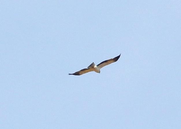 Светлый орел-карлик