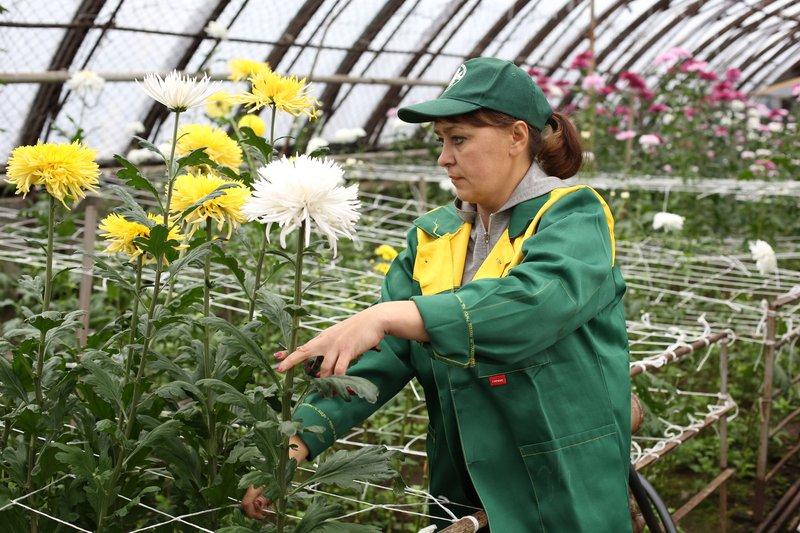 Около 8-ми тыс. хризантем вырастили в«Горзеленхозе» коДню Матери