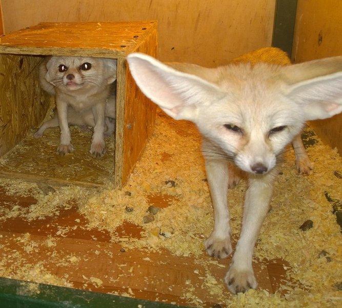 ВИркутской зоогалерее лисички-фенеки впервый раз  за8 лет принесли потомство
