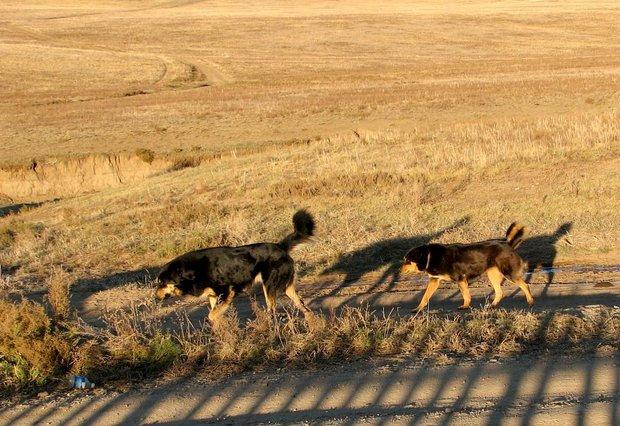 Монгольские овчарки. Национальный парк Хустай.