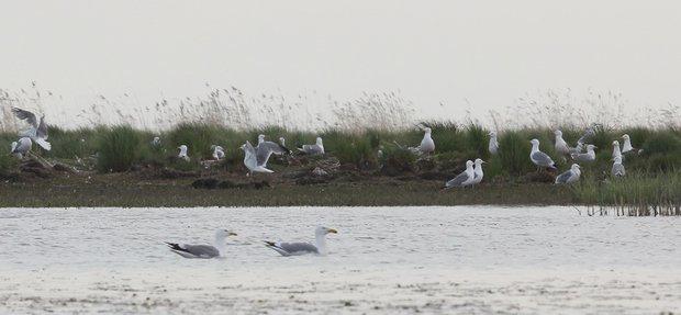 Чайки не только поедают всё, что плавает, но и формируют жизненную среду для других птиц.