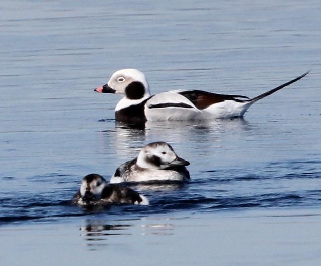 Морянки - красивые и шумные северные утки. Число зимующих в истоке Ангары растет.