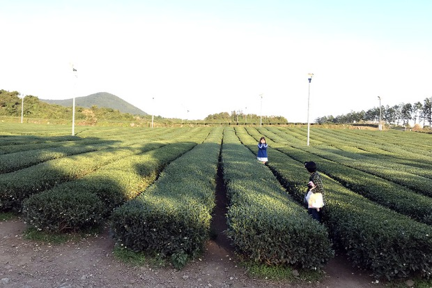 Туристы с удовольствием фотографируются на фоне бесконечных плантаций чая