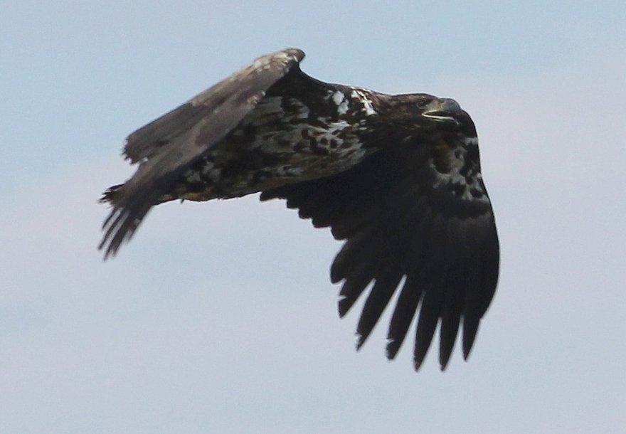 Фотографироваться орлан не пожелал. Но вот примерно такой же с Селенги.