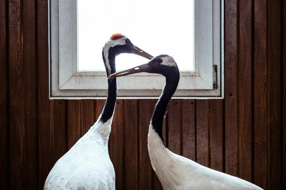 Японские журавли - очень редкий вид. Союз нашей пары Алима и Зеи был зарегистрирован в Москве, как и положено краснокнижным птицам.