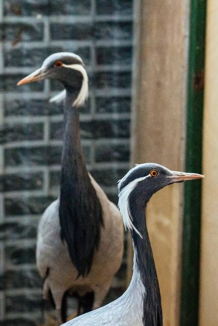 Журавли-красавки. Очень осторожные и пугливые птицы, занесены в Красную книгу. Наша пара попала в приют в разное время и с разными травмами, не позволяющими вернуться в природу. Сейчас у них дружная семья, в прошлом году даже пытались строить гнездо.
