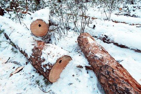 Древесина. Фото ФГБУ «Заповедное Прибайкалье»