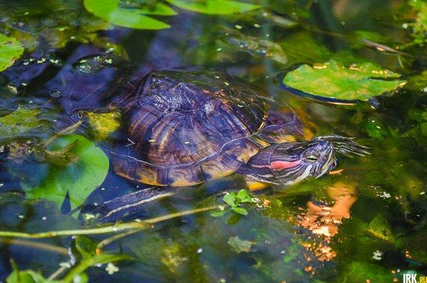 В пруду Ботанического сада обитают красноухие черепахи. Автор фото - Илья Татарников