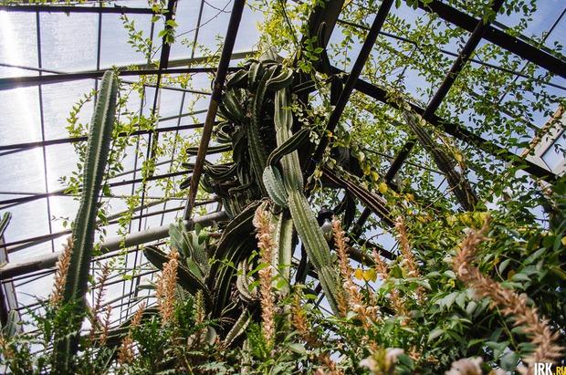 Канделябровый кактус в природе может достигать 15-метровой высоты. Автор фото - Илья Татарников
