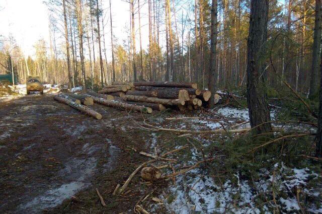 Черные лесорубы заготовили леса вБалаганском районе на56 млн. руб.