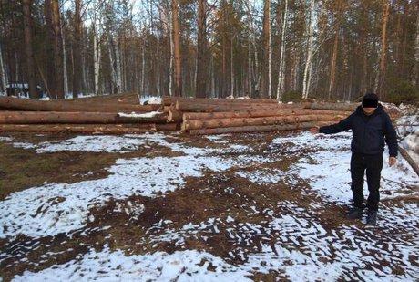 Чёрные лесорубы уничтожили вБалаганском районе сосны на56 млн. руб.