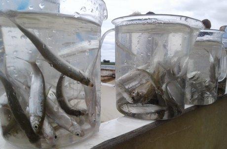 Мальки. Фото с сайта правительства Иркутской области