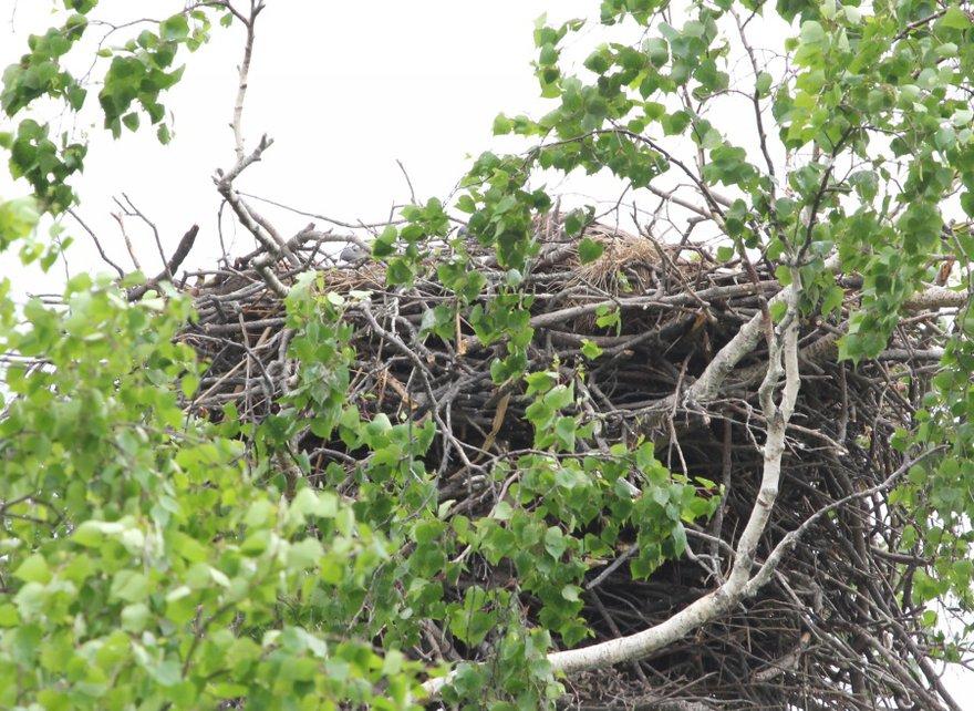 Два клюва торчат из гнезда… но окольцевать не удалось - больно высоко.
