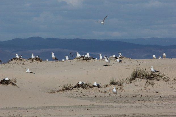 Монгольские чайки продолжают селиться на кромке дельты, подальше от наземных хищников.