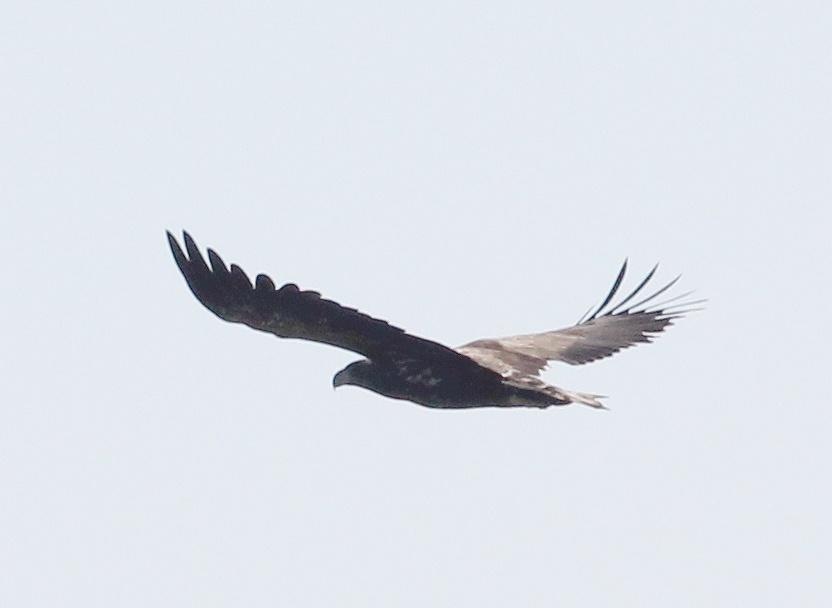 Молодой орлан