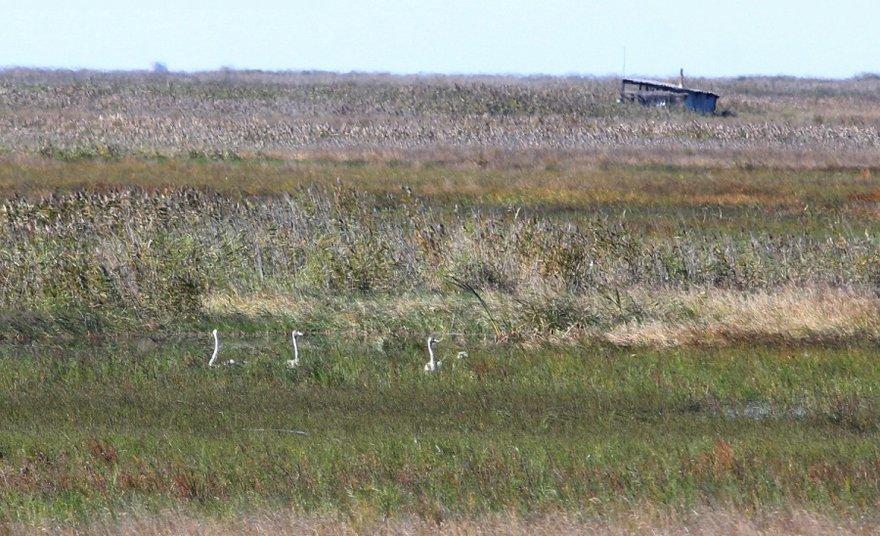 Часть семейства лебедей-кликунов