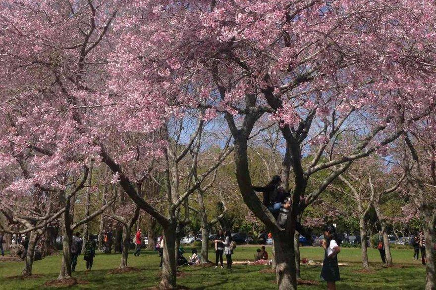 Цветущая сакура в Корнуэлл парке