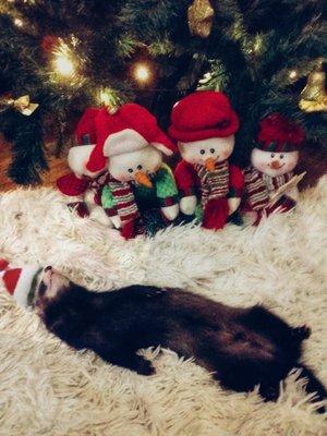 Хорек Рудольф: когда к Новому году уже «готов».