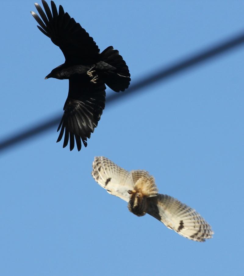 Ворона - серьезный противник…