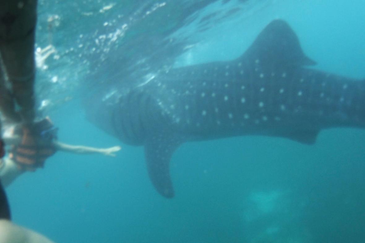 Ослоб, Китовая акула