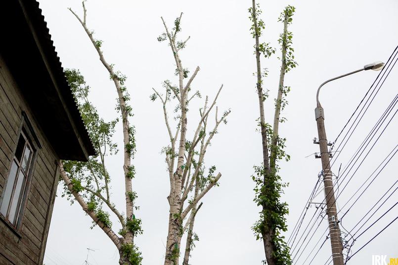 При правильной омолаживающей обрезке взрослых и стареющих деревьев обычно оставляют укороченный ствол и несколько верхних ветвей